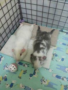 VERY relaxed piggies! :-D