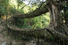 Living roots bridge - Cherrapunji