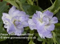 Ashvale Blue Violet.  Pretty white, double flowers with a predominant pale blue edge to the petals. Good scent. Originates from Mike Hardman, UK. £3.75