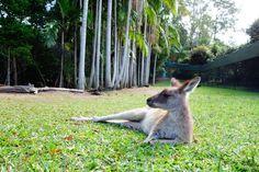 Kangarou. Zoo Australia. Beerwah. Queensland.