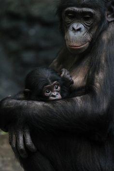 funkysafari: Baby Bonobo by Mark Dumont