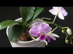 МИНИфаленопсисы и СИНЯЯ орхидея: ИСТИННОЕ ЛИЦО - YouTube