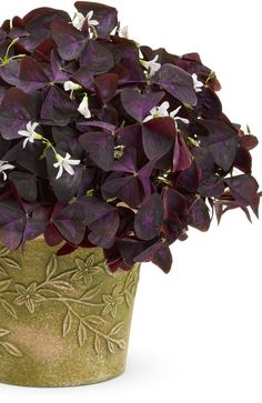 Proven Winners - Proven Accents® Charmed® Wine - Shamrock - Oxalis triangularis pink plant details, information and resources. Flowers Perennials, Shamrock Plant, Little Flowers, Container Plants, Rogers Gardens, Foliage Plants, Flowers, Container Gardening, Perfect Plants