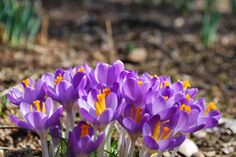 Crocus is the first sweet plant to bloom in March