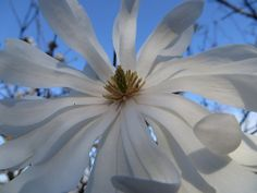 Au jardin, magnolia stellata, Bosdarros, Béarn, Pyrénées Atlantiques, Aquitaine, France. #white #magnolia