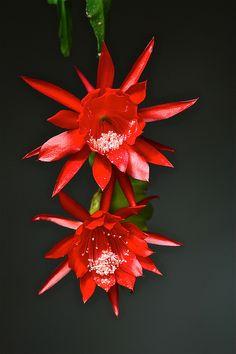 Epiphyllum oxypetalum. Night blooming cereus, orchid cactus.