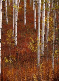 Aspen forest in autumn in the Targhee National Forest - Wyoming