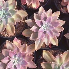 Echeveria, Landscape Design, Garden Design, Herbs Indoors, Succulent Arrangements, Cactus Y Suculentas, Plantar, Farm Gardens, Types Of Plants