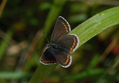 Northern Brown Argus (upperwing)