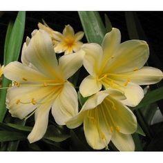 yellow clivia - indigenous