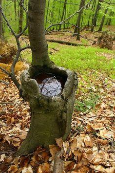 natural tree water trough