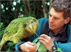 My FAVORITEST Parrot - the Kakapo Parrot (or Owl Parrot) of New Zealand! It is the heaviest parrot in the world. Two other features make it extraordinary; it is also the ONLY flightless parrot and the ONLY nocturnal parrot known to man. The Kakapo P Flightless Parrot, Kakapo Parrot, Pretty Birds, Beautiful Birds, Beautiful Places, What Is A Bird, Colorful Birds, Exotic Birds, Cockatoo