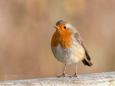 Portrait of a Robin #PatrickBorgenMD