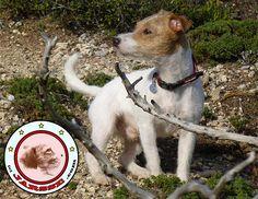 Peritas the proud Jack Russell Terrier from JARSSE