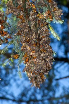 Overwintering Monarch butterflies: I had monarch butterflies as a kid, my mom and our school would get the caterpillars. I had one in a little cage at home i would feed sugar water and i could even get to stand on my finger to drink the sugar water. That was really cool.