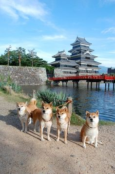 Shiba Inus, such doges, so Japanese, much wow! :)