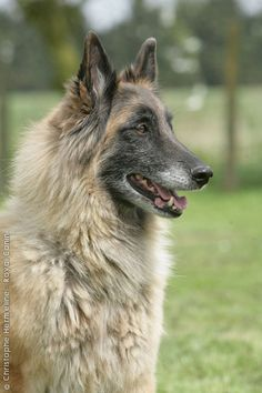 Belgian Shepherd Dog, Tervueren. These animals have all the qualities needed to be a good shepherd, guard, defense, and service dog. Their lively and alert temperament and confident nature, free from all anxiety or aggression, must be perceptible in their body language and the proud, attentive expression of their flashing eyes.