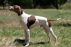 English Pointer  Originating in England in 1650, the English Pointer was used to locate hare and upland birds. So named for their motionless stance they assume when they have found game, this breed continues to thrive as a popular hunting dog and companion.