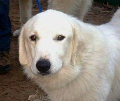 07/29/14~Astro~ Great Pyrenees • Adult • Male • Extra Large Lone Star Pyrs and Paws Rescue Houston, TX