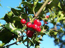 Ilex aquifolium. Houx, dioique, décoratif, feuilles piquantes, pour les arbres femelles : petits fruits rouges très décoratifs pendant l'hiver, nourrit les oiseaux en décembre. Nécessite un mâle pour avoir les fruits.