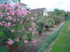 A három fő titok mellett egy meglepő tény is kiderül a leander magvetéséről. Gardening, Shape, Plant, Garten, Lawn And Garden, Garden, Square Foot Gardening, Garden Care