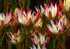 Garden Flowers - Annuals Or Perennials Leucadendron Rock Garden Plants, Love Garden, Australian Native Garden, Australian Wildflowers, Australian Flowers, Drought Tolerant Plants, Flower Pictures, Tropical Flowers, Cut Flowers