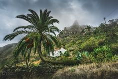 Imada Palm - I found this interesting palm on a walk through the Imada Valley, La Gomera.