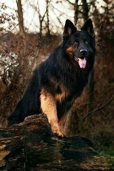 #German #Shepherd Gorgeous!