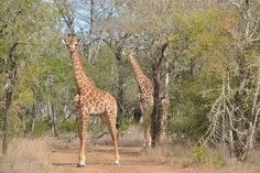 Mbuluzi, Hhohho, Swaziland — by Earthseeing. Met some giraffes when walking around the roads and trails in Mbuluzi Game Reserve - northeast of Swaziland, close to. Game Reserve, Africa Travel, Roads, Trail, Walking, Animals, Giraffes, Animales, Road Routes