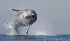 The Flying Humpback Whale