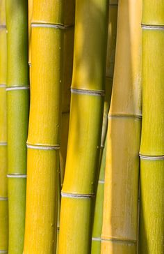 Bright yellow bamboo #colorsoftheweek