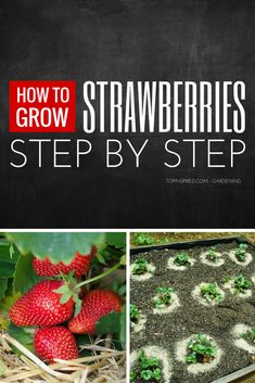 Top 10 Tips on Growing Strawberries in Your Garden Did you know that the strawberries are members of the rose family? Or that the strawberry plant is actually a perennial? Just like all other fruits, the Garden Compost, Veg Garden, Fruit Garden, Edible Garden, Lawn And Garden, Vegetable Gardening, Strawberry Plant Care, Strawberry Planters, Strawberry Garden