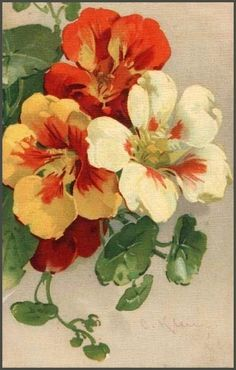 nasturtium art by Catherine Klein Botanical Drawings, Botanical Illustration, Botanical Prints, Watercolor Flowers, Watercolor Paintings, Catherine Klein, China Painting, Arte Floral, Pictures To Paint