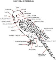 snowy owl wing diagram