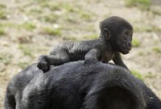National Zoo baby gorilla rides on mother's back by Smithsonian's National Zoo on Flickr.
