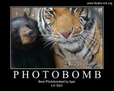 Little Anne #Bear Photobombed by a #Tiger (Doc)!  www.noahs-ark.org