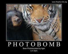 Little Anne #Bear Photobombed by a #Tiger (Doc)!  www.noahs-ark.org