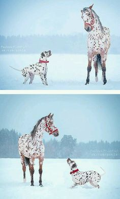 So adorable. Dalmatian and appy
