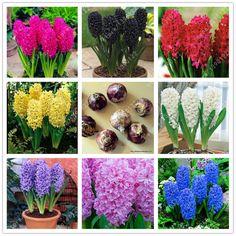 True hyacinth bulb,hyacinth flower,bonsai flower bulbs so Fragrant Forever Missing Hydroponic plants for home garden-1 bulb/bag
