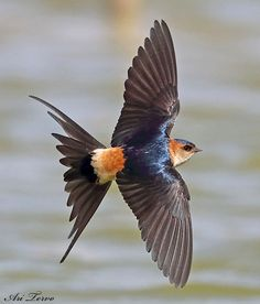 Adult Red-rumped Swallow (Cecropis daurica)