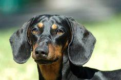 Black-Dachshund-Dog-Face-Image-With-Scary-Eyes.jpg (700×466)