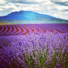 Bridestowe Lavender Farm in Nabowla in Tasmania's north.  Image Credit: Paul Fleming