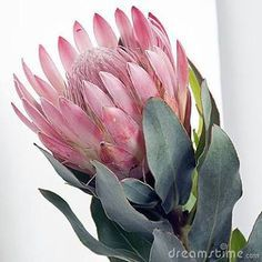 Pink Square Pincushion Protea Stock Image – Image of delectable, bloom: 4552787 - Modern Protea Art, Protea Flower, Cactus Flower, Flower Art, Exotic Flowers, Tropical Flowers, Purple Flowers, Beautiful Flowers, Lilies Flowers