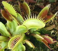 Dionaea, Piante carnivore, Piante insettivore, Dionaea muscipula, Venus, Acchiappamosche, ascidi, ascidio, Pianta