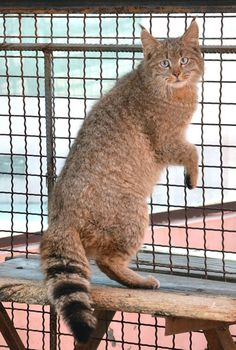 Chats sauvages rares,   Cougar chinoise