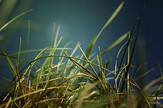 Grass on the sand dunes on Flickr.