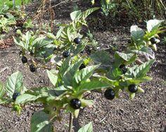 3. Deadly Nightshade (Atropa Belladonna) | Common But Deadly Plants | Death, Plant, Tree, Toxic, Plants