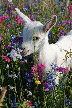 Spring goat! :-) #cute