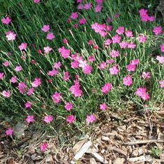 Engnellik - Lavt krypende baldverk, med blomster som stikker 20cm opp over bladene. Solrikt.