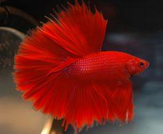 Red Halfmoon Betta (Betta splendens)